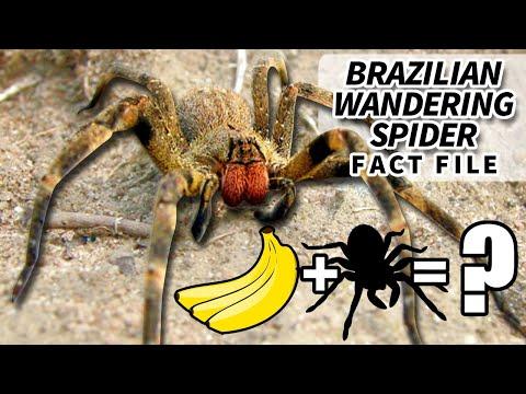 Brazilian Wandering Spider | Animal Fact Files