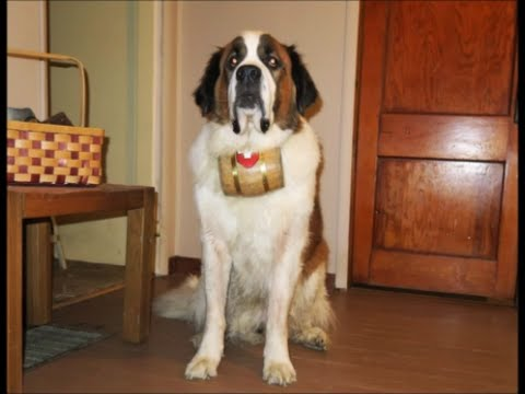One of the biggest St. Bernards I have ever seen