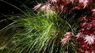 How to grow Maiden Grass - Gardening 101 by Dr. Greenthumb