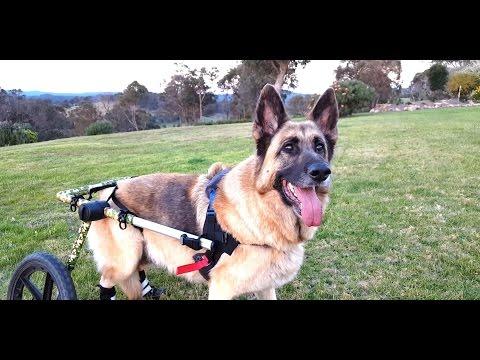 Mya Sweetie Wheelie Adventures - German Shepherd With Degenerative Myelopathy Using Walkin' Wheels