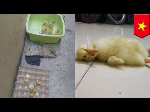 Cuaca panas membuat 24 telur bebek menetas di dapur - TomoNews