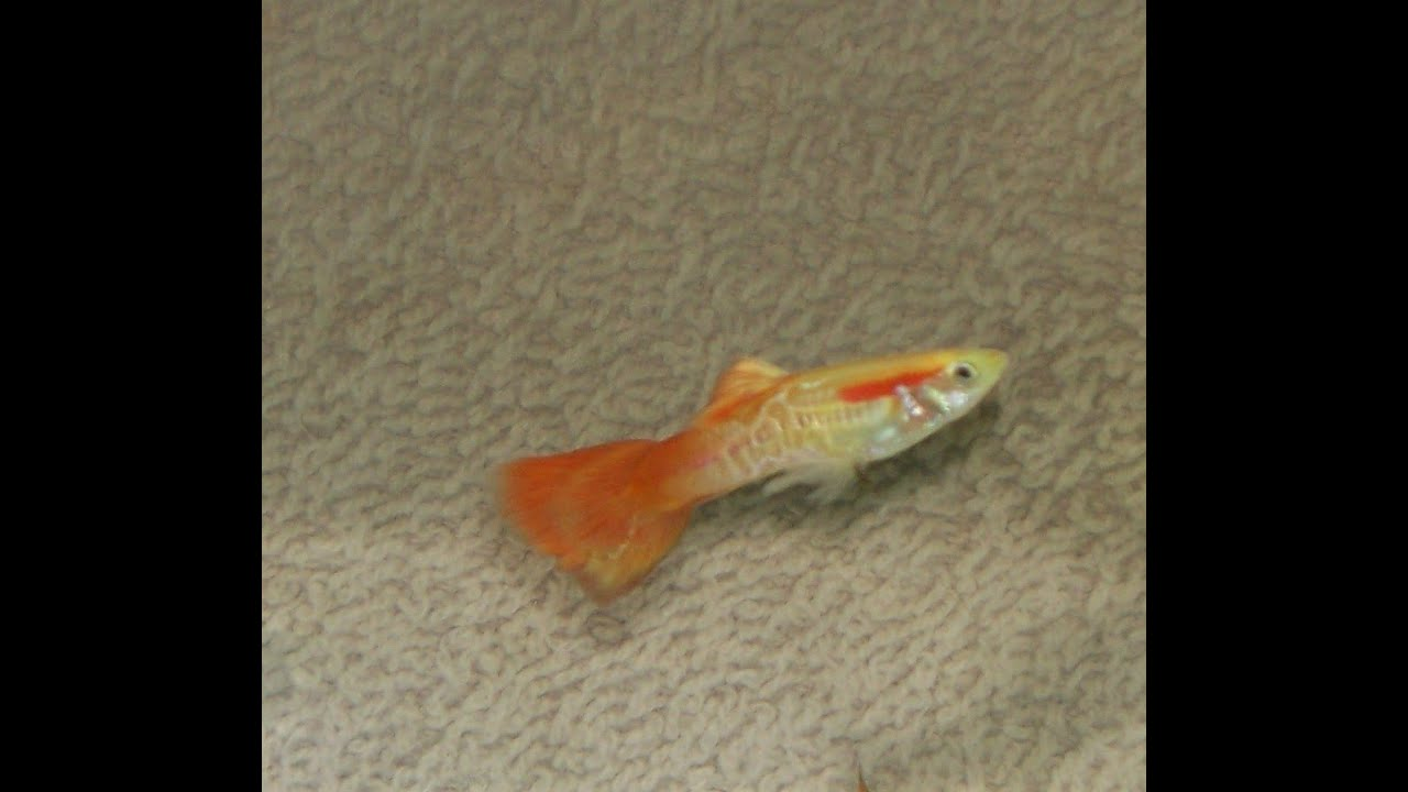 Orange Cobbler Lace Fancy Tail Guppies Trio Live Fish Young Adults - FOR  SALE