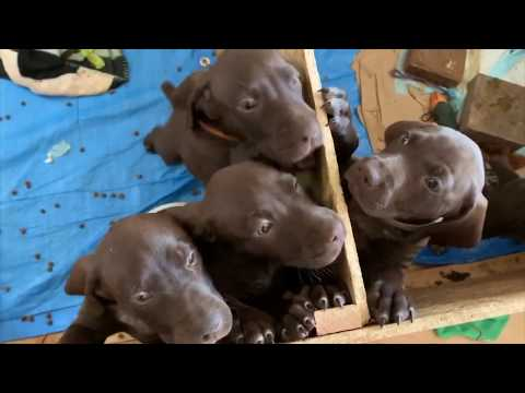 GSP puppies