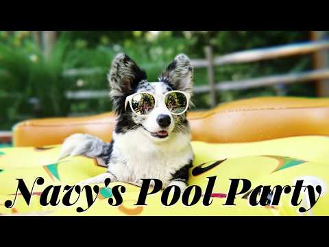 Navy the Corgi has a pool party! | GoPro Dog Swimming Adventure