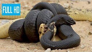 アナコンダVSキングコブラ, パイソン, その他のヘビ, 野生動物の戦い^^ ...