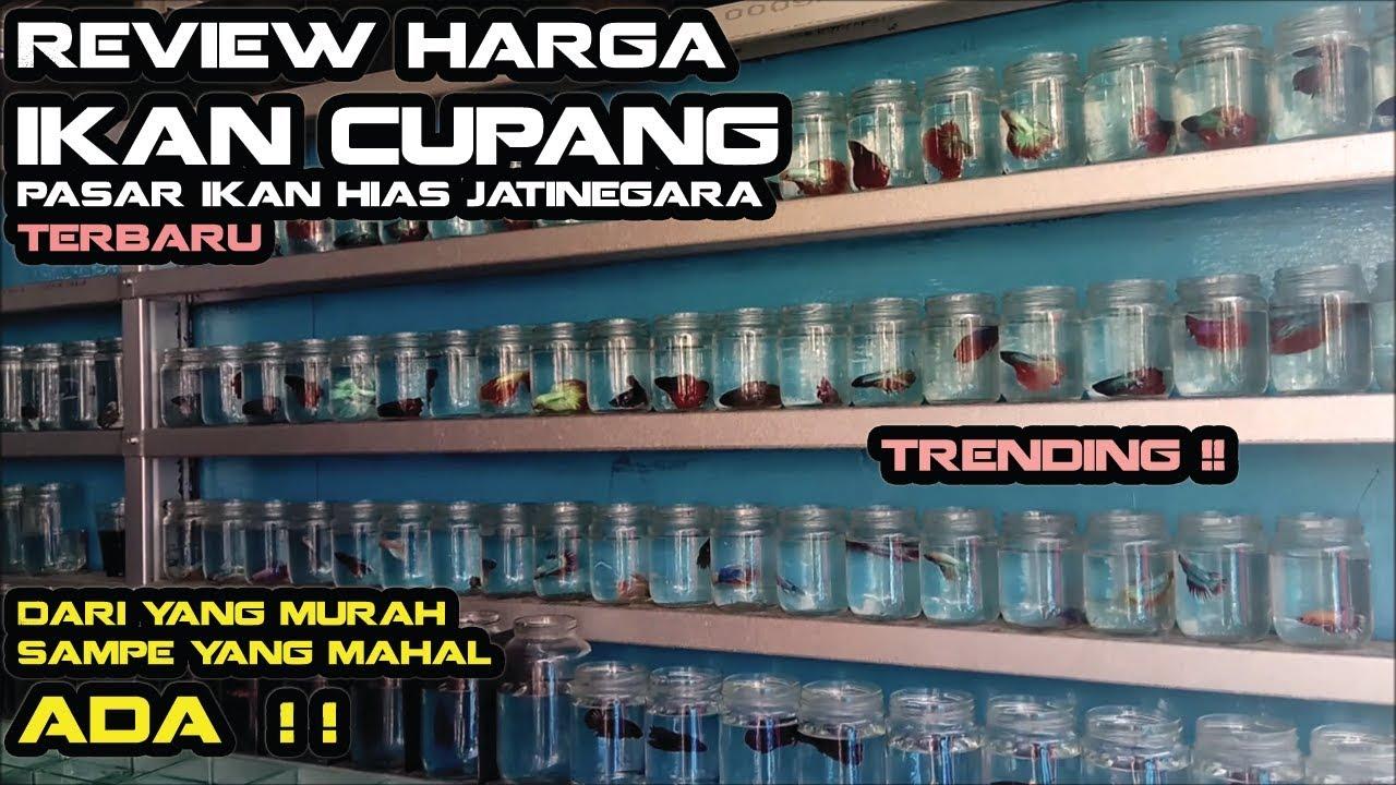 Review Harga Ikan Cupang di Pasar Ikan Hias Jatinegara ...