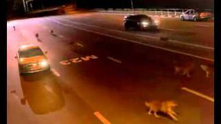 russian cop hops in car to avoid wolves