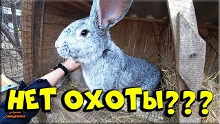 ???? Случка кроликов без охоты! Наш опыт.... ????