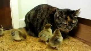 Кот и цыплята