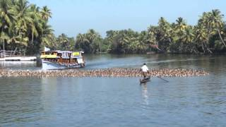 Duck farming - Alappuzha (Allepey), Kerala, India