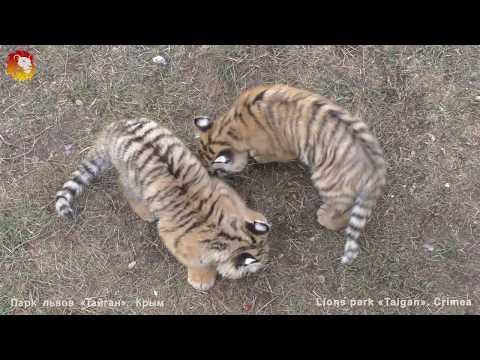 Жадный тигр Скиф забрал мясо у детей. Архив. Тайган. Tiger Skif Took Away Meat From Children.