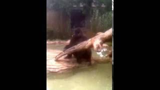 Silverback Gorilla at Henry Doorly Zoo and Aquarium eating carrots