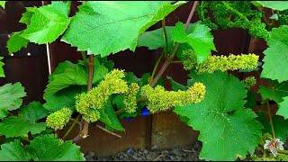 Как определить начало цветения столовых сортов винограда. Виноград 2018.
