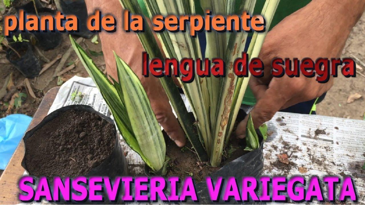 Planta lengua de suegra related keywords planta lengua - Como cocinar las setas lengua de vaca ...