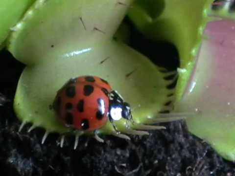 Venus Flytrap Gets A Bug