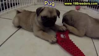 Pug, Puppies, For, Sale, In, New York, City, Ny, Albany, State, Up