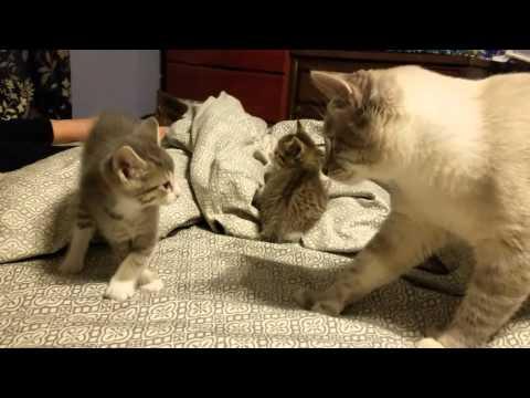 5 week old kitten vs daddy cat