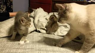 5 week old kitten vs daddy cat