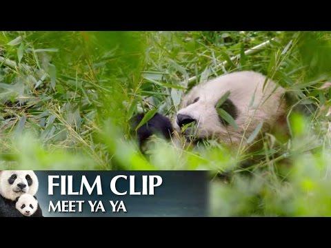"""Meet Ya Ya"" Clip - Disneynature's Born in China"