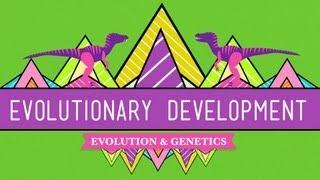 evolutionary development chicken teeth crash course biology 17