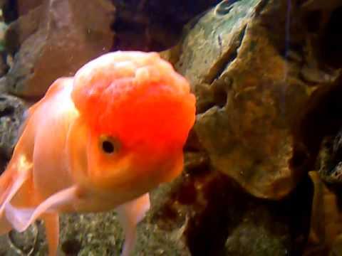 pesce testa di leone youtube