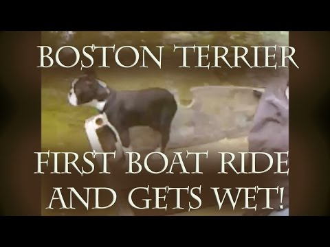 Boston Terrier Pup Has First Boat Ride And Takes A Splash - Dog Fail!