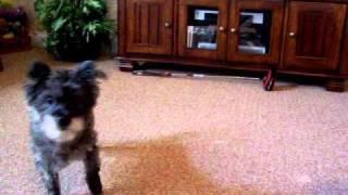 Nikki - Cairn Terrier