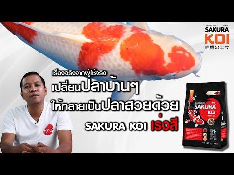 เปลี่ยนปลาธรรมดาให้สวยขึ้นได้ ด้วย Sakura Koi สูตรเร่งสี