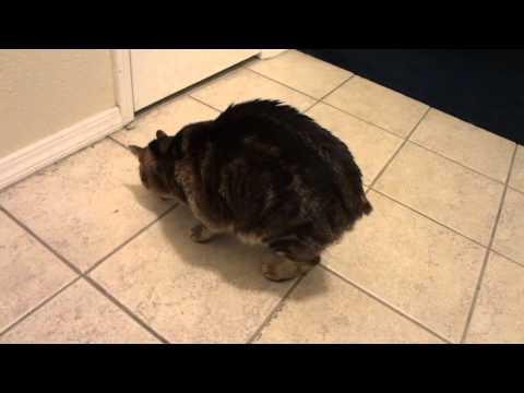 black brown tabby manx (no tail cat)