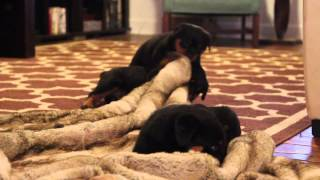 Rottweiler Puppies Playing - Large Rottweiler Puppies - Rottweiler Stud