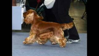 "Abbadon's Cephalus ""loki""  - English Cocker Spaniel -"