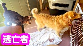 風呂上りのゴールデンレトリバーにビックリして逃亡する猫!