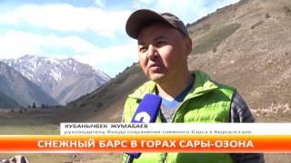 В горах Чуйской области фотоловушки зафиксировали снежного барса