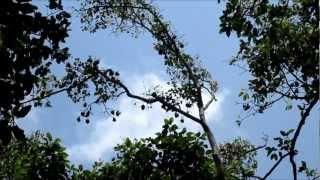 シェムリアップ市 大コウモリのいる木 Siem Reap  Fruit bat