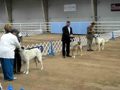 Anatolian Dog Show