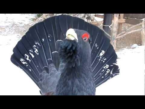 Вопрос: Глухарь перелётная птица или нет?