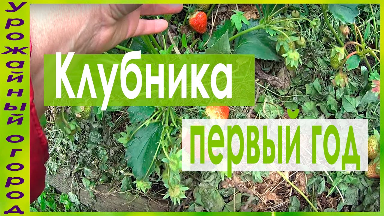 Уход за клубникой после плодоношения урожайный огород
