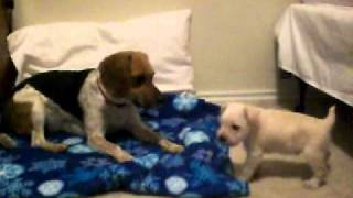 Beagle And Miniature Schnauzer