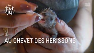 Download lagu Des femmes formidables sauvent les hérissons, une espèce menacée