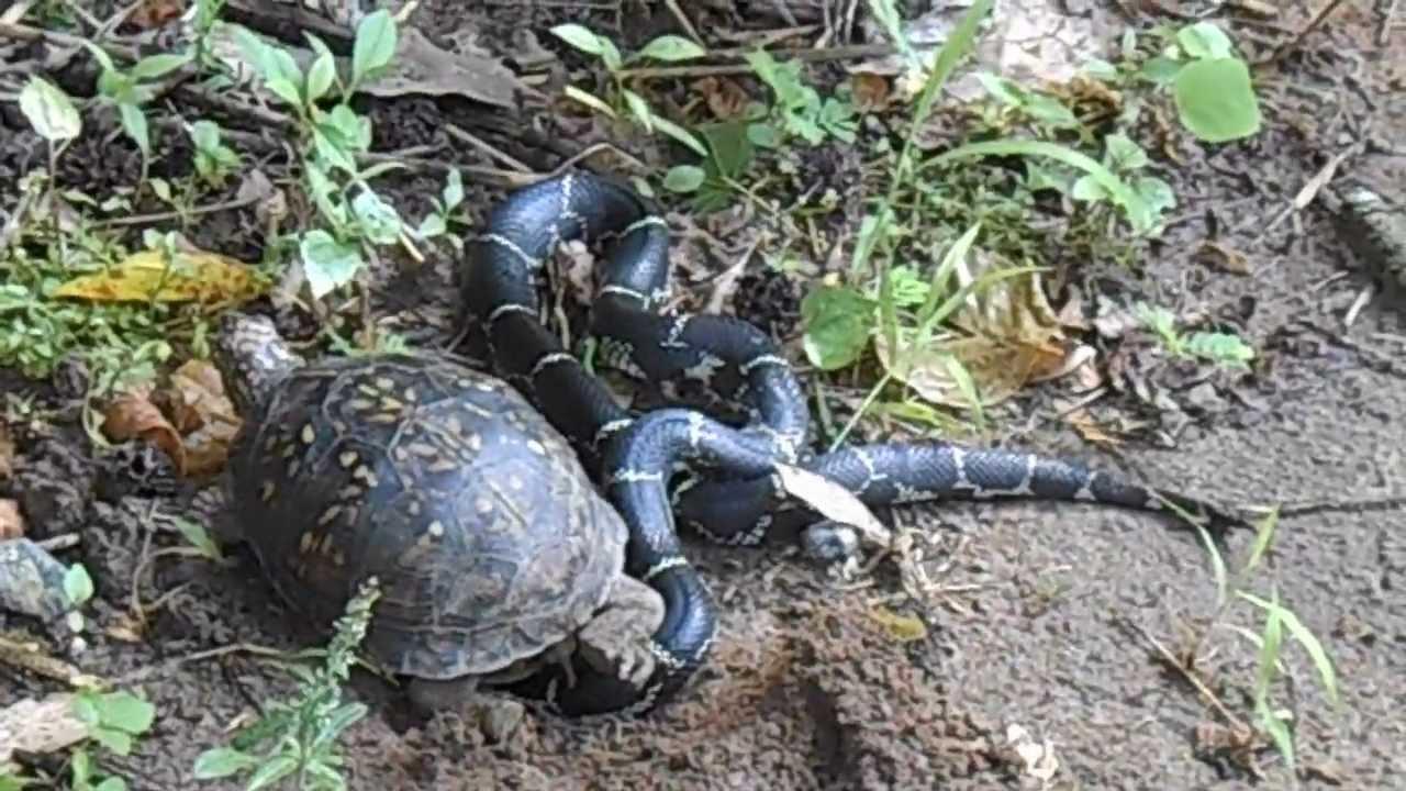 Turtle And Kingsnake Youtube