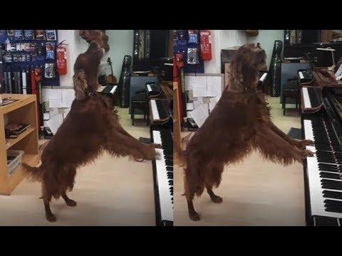 PERROS Y GATOS TOCANDO EL PIANO