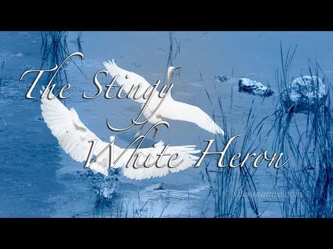 True Story: The Stingy White Heron
