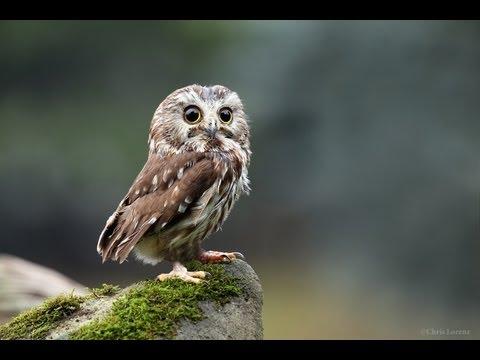 help the northern saw whet owl youtube