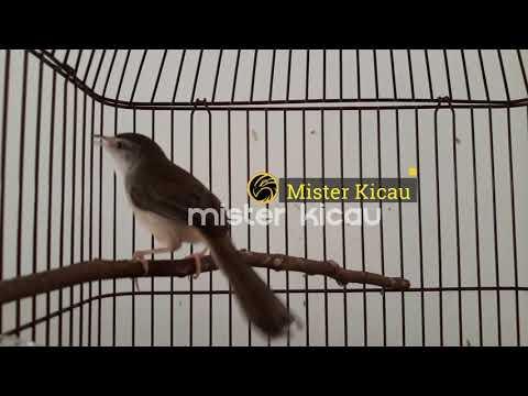 Ciblek Pari - Ciblek Sawah Gacor Full Isian Durasi Panjang Suara Jernih Cocok untuk Masteran Murai