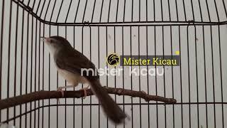 Ciblek Pari Ciblek Sawah Gacor Full Isian Durasi Panjang Suara Jernih Cocok untuk Masteran Murai