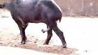 penisul în tapiri