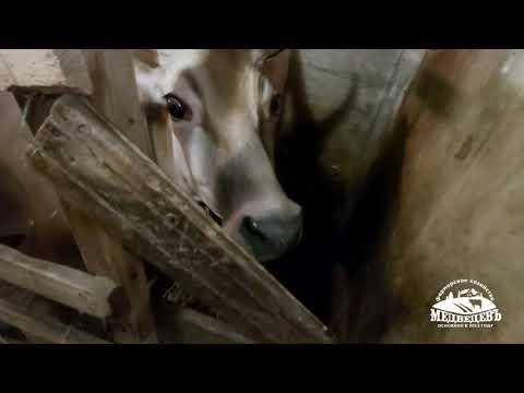 Вопрос: В чем недостатки джерсейской породы коров?