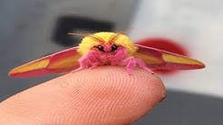 This Colorful Moth Might Just Be The World's Most Beautiful Insect Prepare To Fall In Love!
