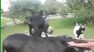 Реально смешные козы! Юмор! Прикол! Смех