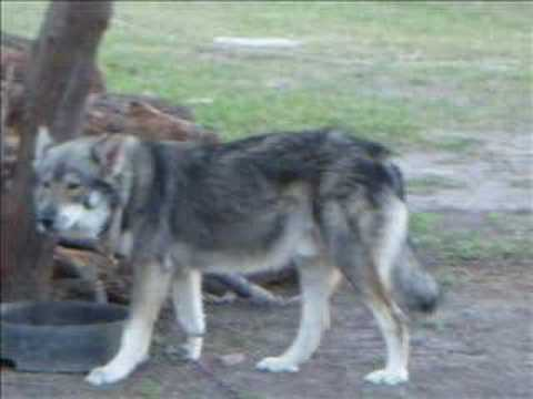 Timber Wolf video(some info.)